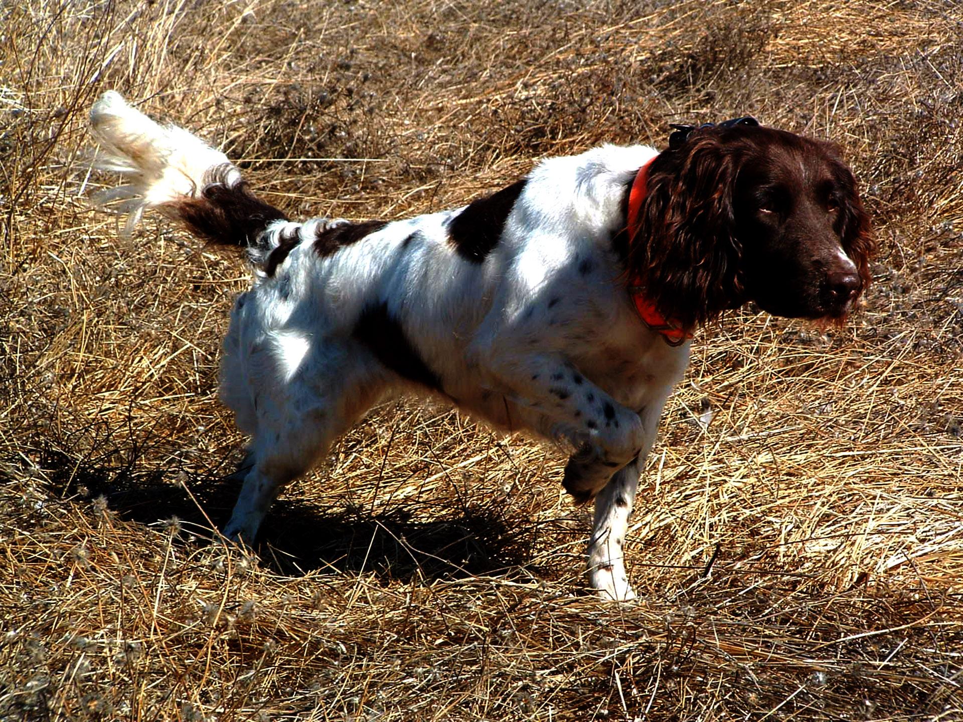 Jacht – Staande honden