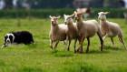 foto schapen drijven_140x79